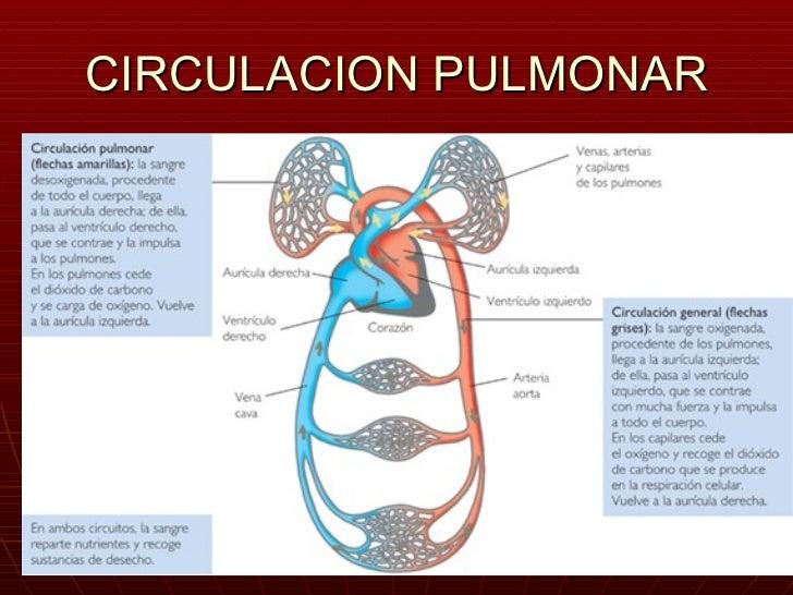 Moderno Anatomía Circulación Pulmonar Colección de Imágenes ...