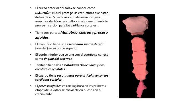 Anatomia de torax r1.