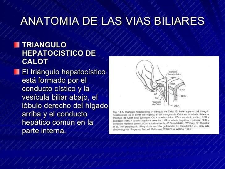 Anatomia de vias biliares