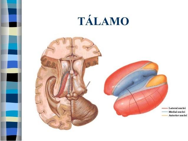 Anatomia diencéfalo