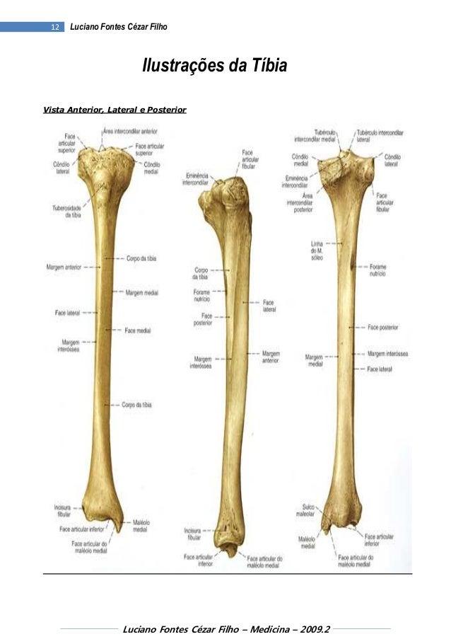 Bonito La Anatomía De La Tibia Ideas - Imágenes de Anatomía Humana ...