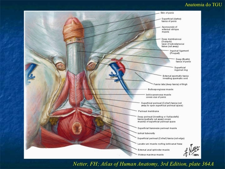 Anatomia Cirrgica Do Trato Gnito Urinrio