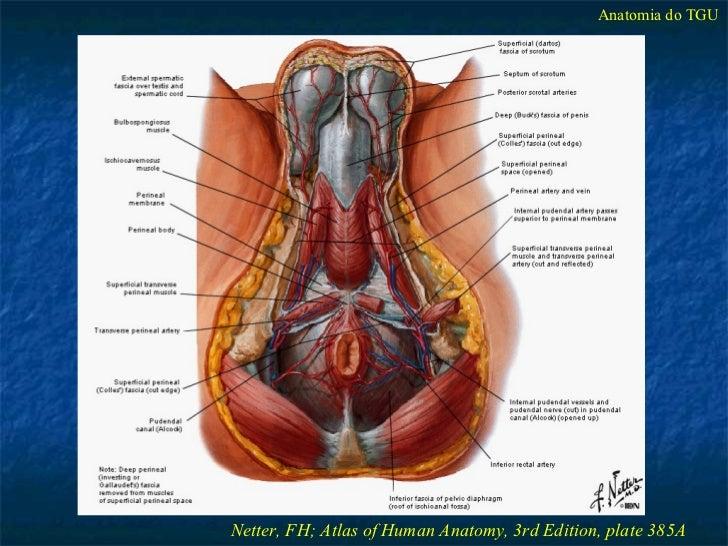 Anatomia Cirúrgica do Trato Gênito-Urinário