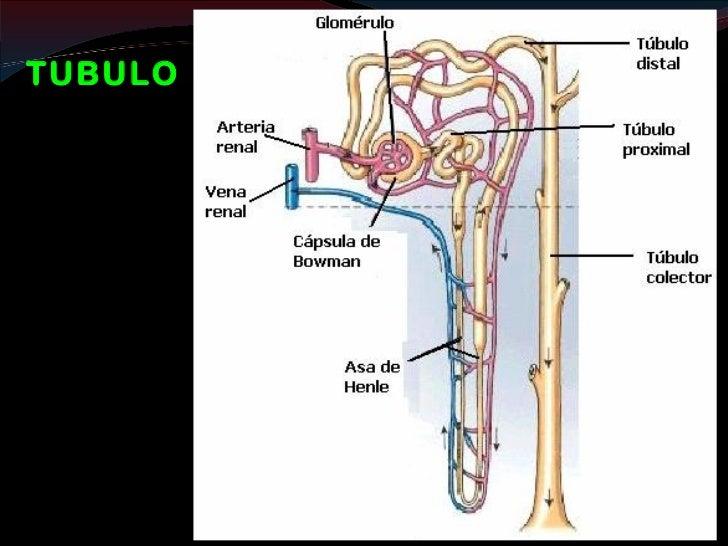 Túbulo y Conducto ColectorAsa de HenleCARACTERISTICAS           CARACTERISTICAS • Menor diámetro            • Mayor diámet...
