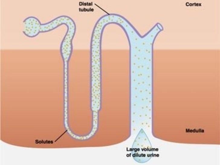 REGULACIÓN EQUILIBRIO ÁCIDO-           BASE El PH debe mantenerse en límites muy estrechos (7,35-7,45). El riñón pone en...