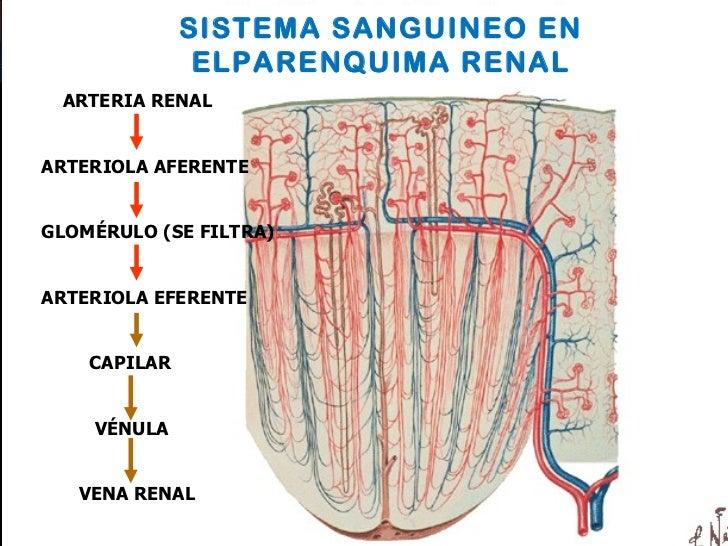 Anatomía y fisiología del riñón y las vías urinarias