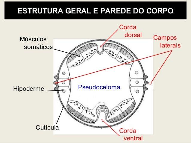 Anatomia E Morfologia De Fitonematoides