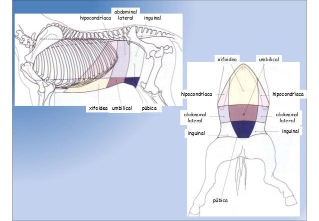 Anatomia equino