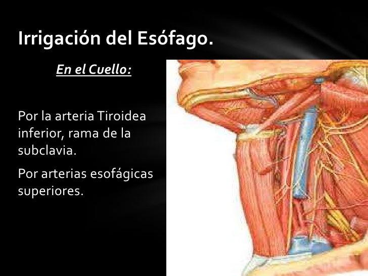 Anatomia esofago