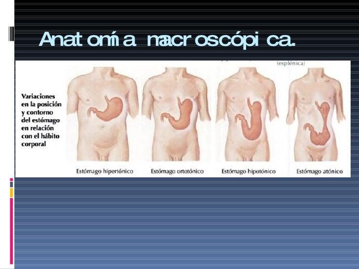 Bonito Anatomía Macroscópica Del Abdomen Ilustración - Anatomía de ...