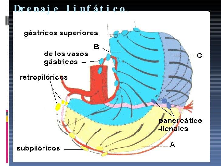 Anatomia Estomago03