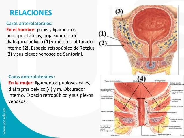 vejiga urinaria y uretra