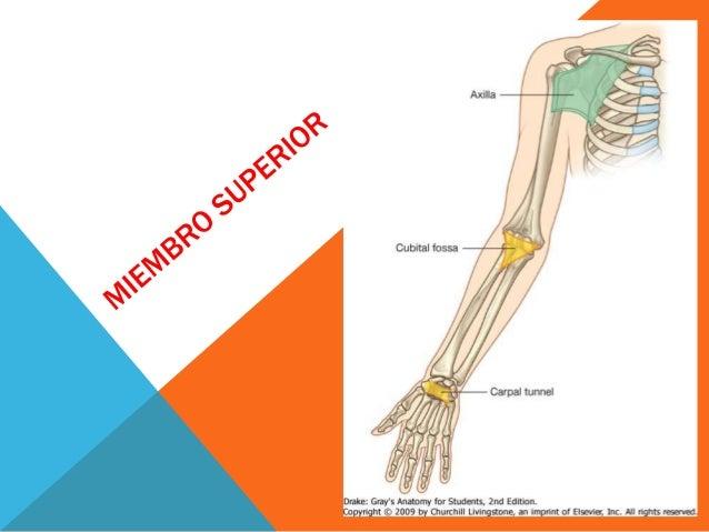 Anatomia extremidad superior e inferior