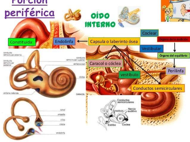 Anatomia fisiologia del oido