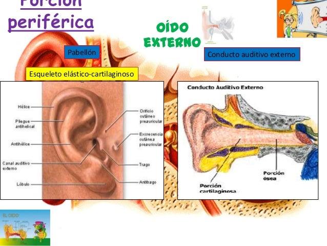Anatomia, fisiologia del oido