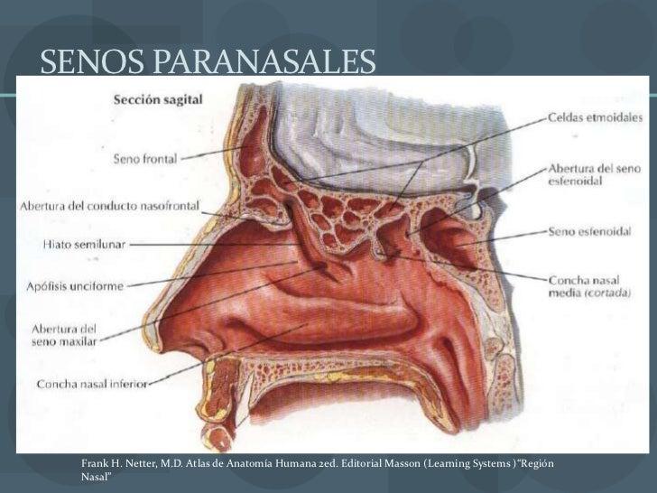 Lujo Anatomía De Las Nariz Y Senos Paranasales Viñeta - Anatomía de ...