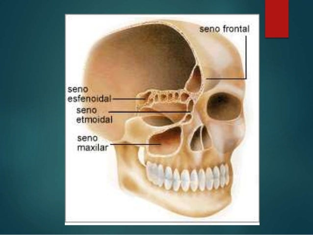 Anatomia fisiologia y patologia de nariz y senos paranasales pptx