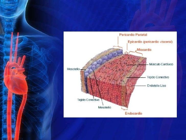 Anatomia fisiologica del musculo cardiaco