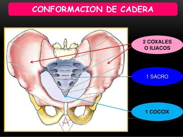Anatomia funcional de cadera