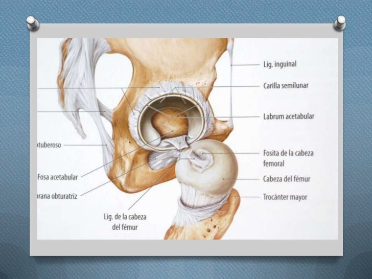 Anatomia funcional de la cadera
