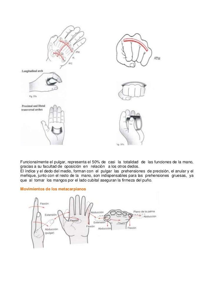 Único Definición De La Oposición En La Anatomía Colección de ...