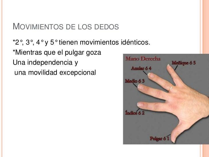 equipo 3 tema 3 Anatomia funcional de la mano sobre el antebrazo