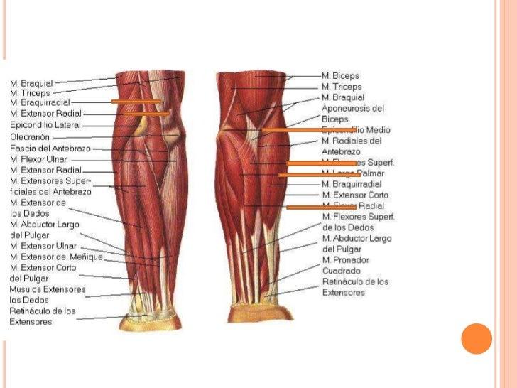 Moderno Palmar Fascia Anatomía Cresta - Anatomía de Las Imágenesdel ...