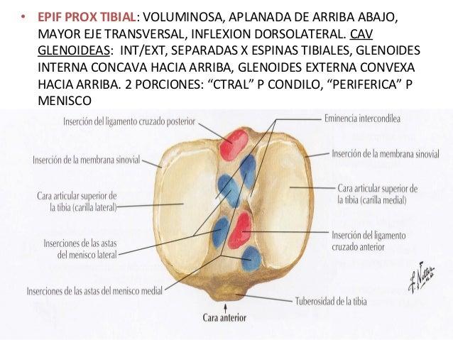 Anatomia funcional de la rodilla
