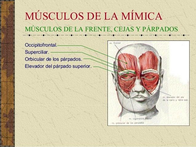 Anatomia funcional de los musculos de la cara