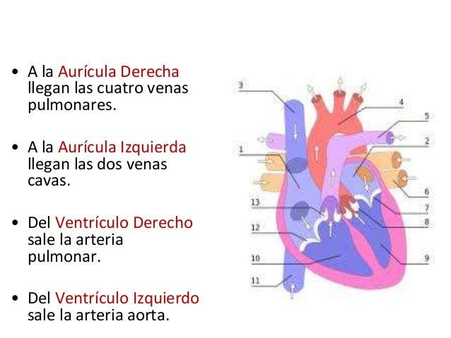 Anatomia funcional del sistema cardiovascular