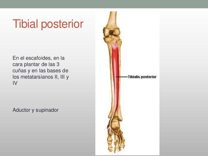 Atractivo Tibial Posterior Anatomía Adorno - Anatomía de Las ...