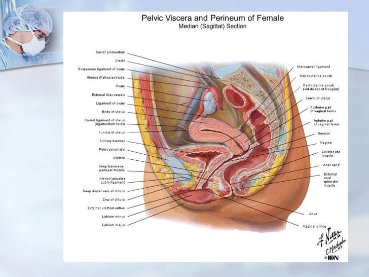 Anatomia genital inferior femenina