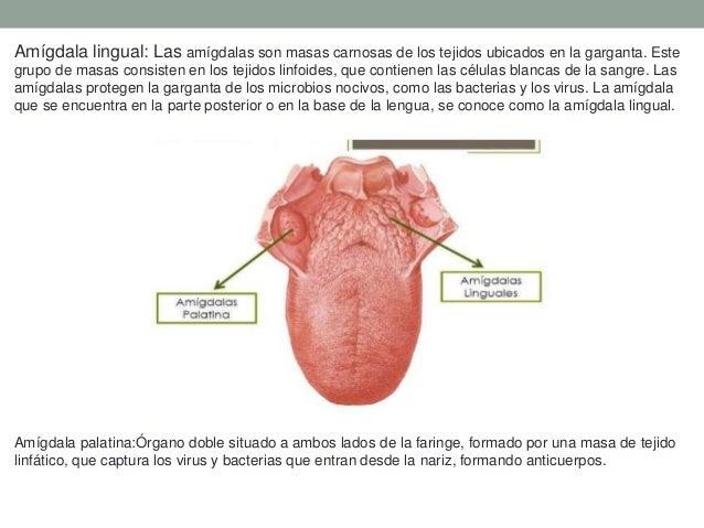 Anatomia del Sentido del gusto