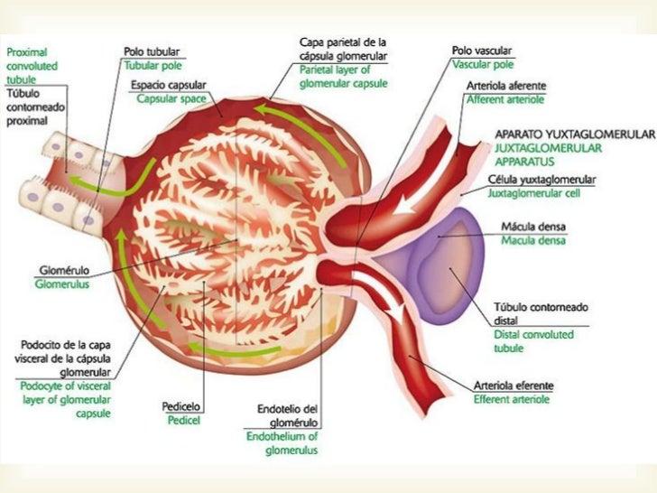 Anatomia Histologia Embriologia Y Fisiologia Renal