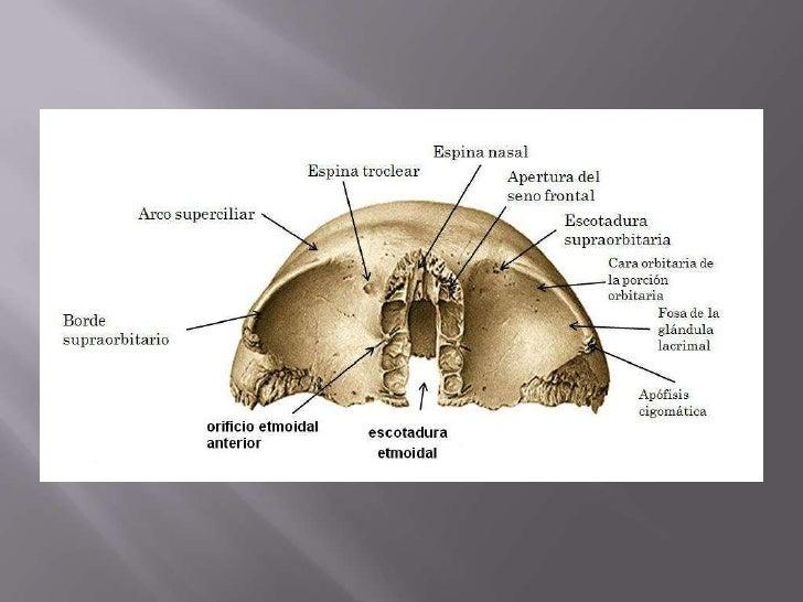 Anatomia hueso frontal