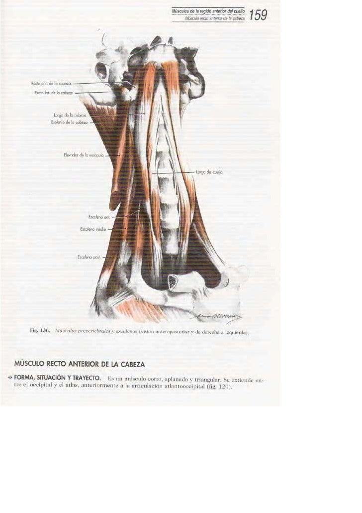 Fantástico Los Músculos Del Cuello Anatomía Humana Imágenes ...