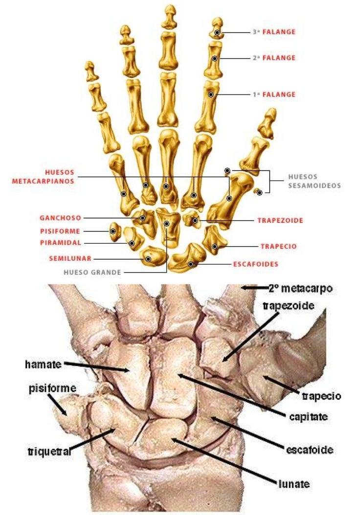 Anatomía humana general