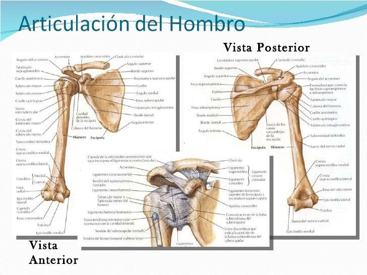 Anatomia humana ms y mi corregida