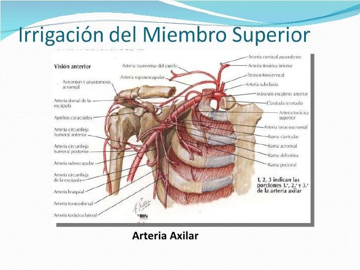 Atractivo Anatomía Arteria Axilar Foto - Anatomía de Las Imágenesdel ...