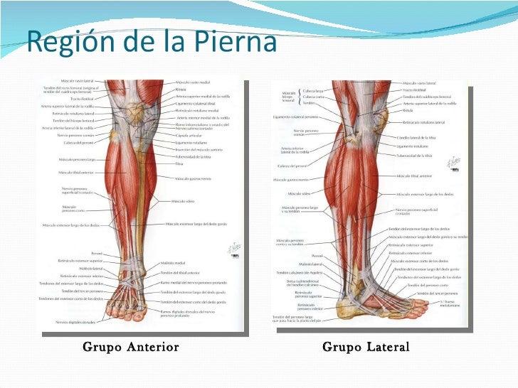 Fantástico Piernas Humanas Anatomía Viñeta - Anatomía de Las ...