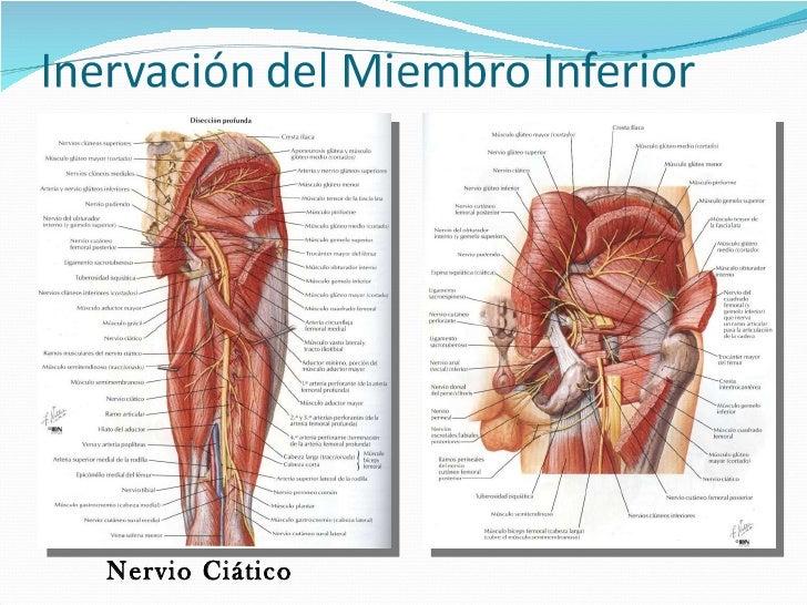 Famoso Trayectoria Del Nervio Ciático Elaboración - Anatomía de Las ...