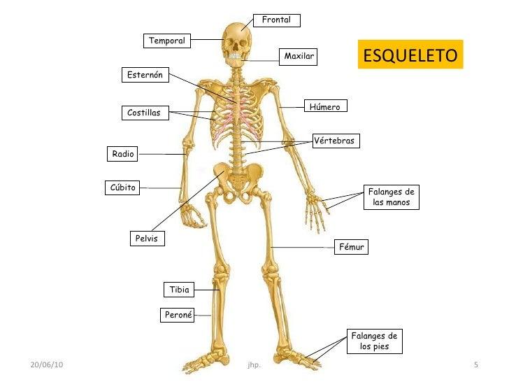 Famoso Esqueleto Anatomía Humana Friso - Anatomía de Las Imágenesdel ...