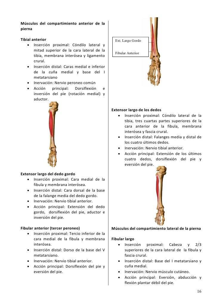 Asombroso Anatomía Músculos De La Pierna Componente - Imágenes de ...