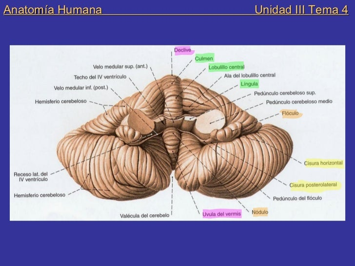 Anatomia humana unidad iii tema 4 sistema nervioso, cerebelo, iv vent…
