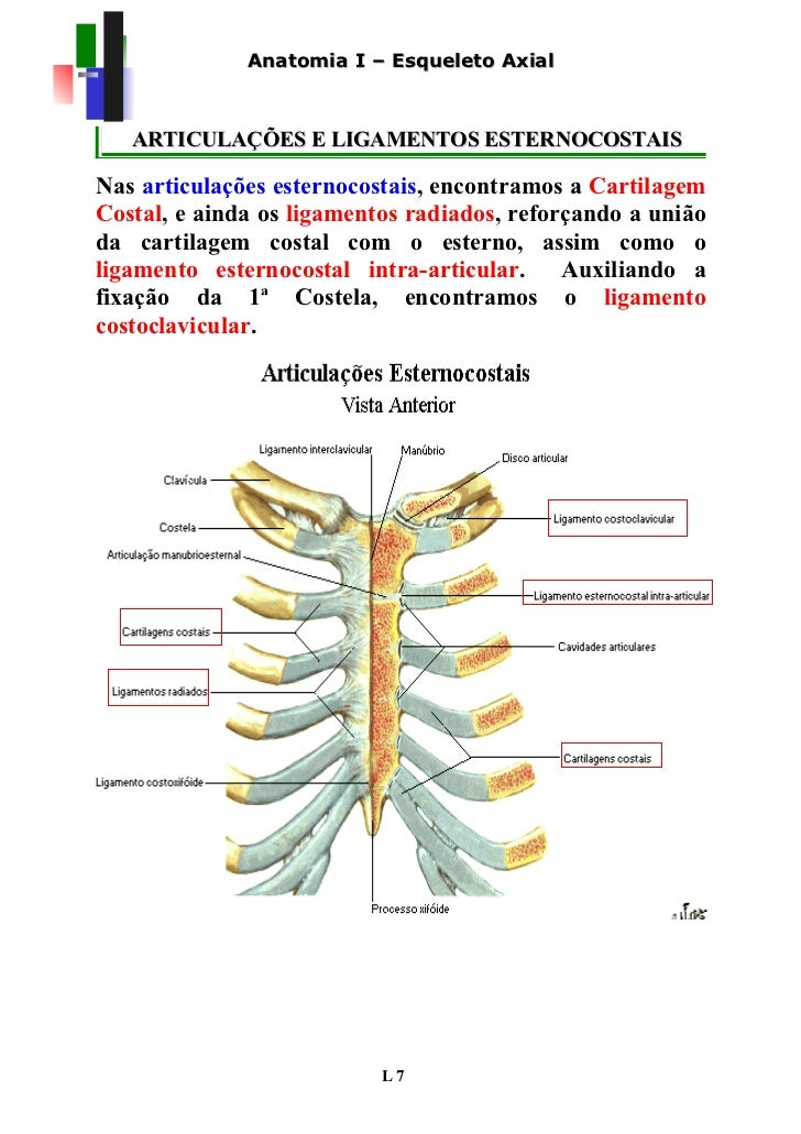Moderno Diagrama De Esqueleto Axial Festooning - Anatomía de Las ...