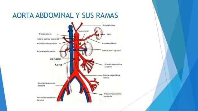 Anatomia ii aorta