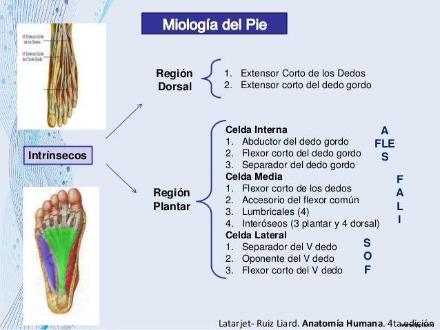 Anatomia ii del pie