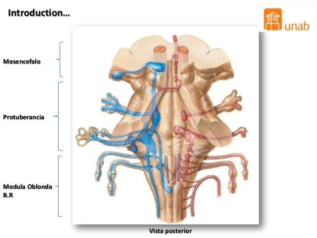 Anatomia interna de tallo cerebral