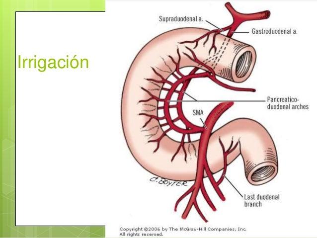 Anatomía intestino delgado