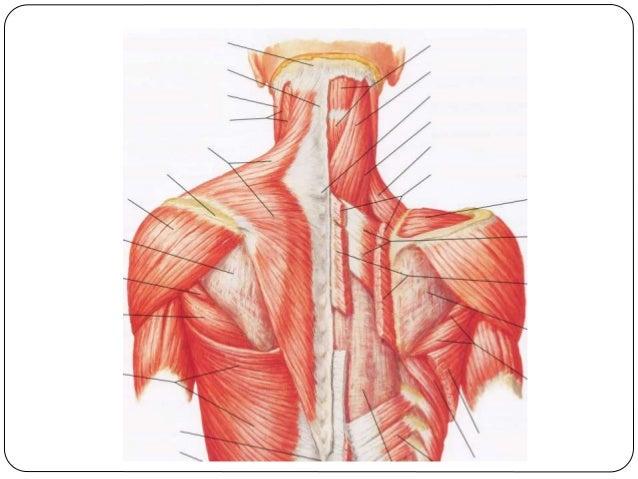 musculos que unen la cintura escapular al tronco